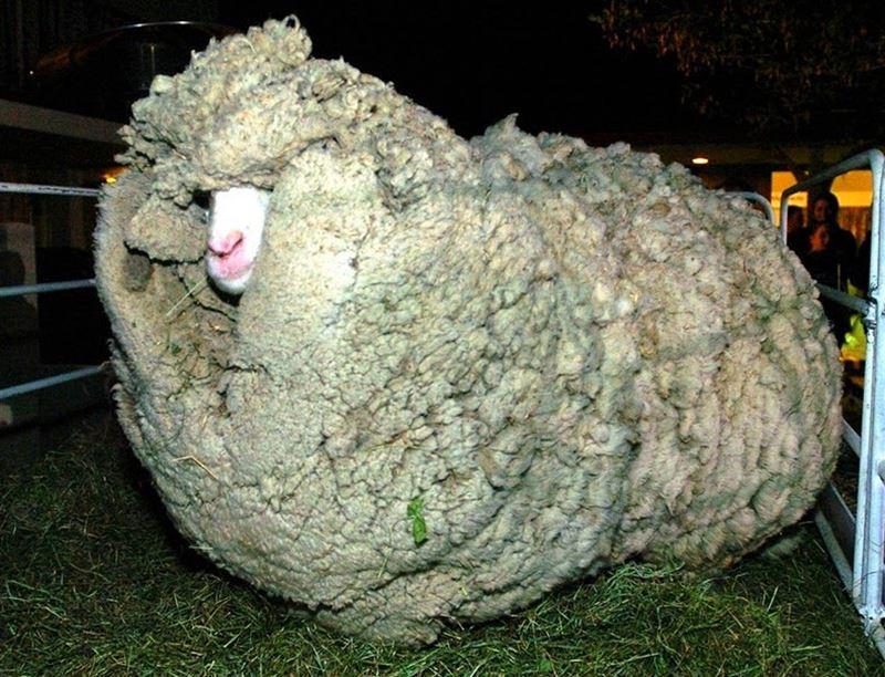 Shrek, o carneiro fujão